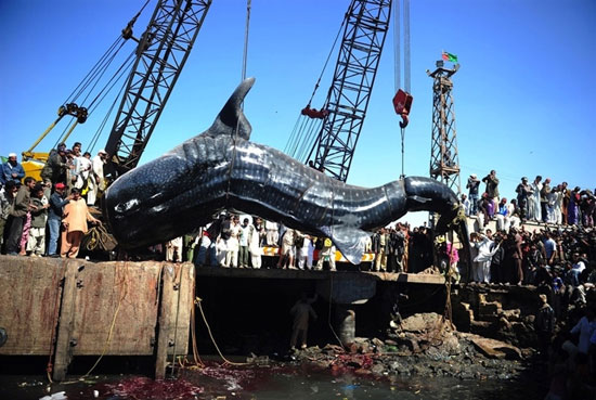 Ψάρεψαν καρχαρία 13 μέτρων (3)
