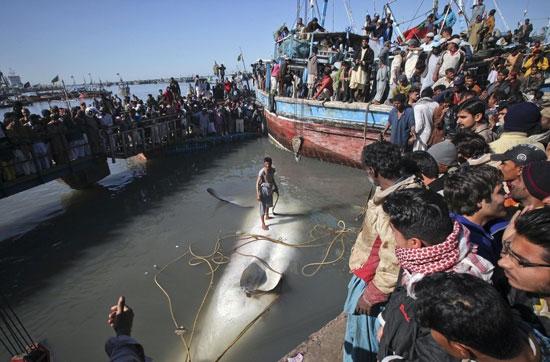 Ψάρεψαν καρχαρία 13 μέτρων (4)
