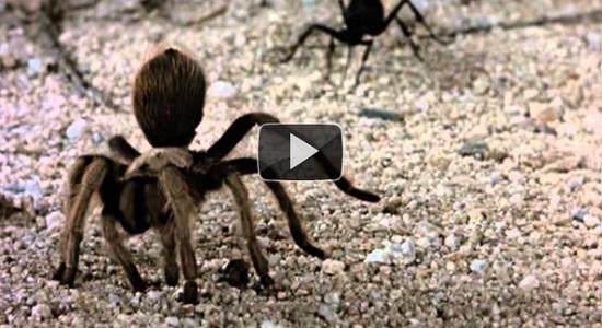 Μάχη επιβίωσης: Σφήκα εναντίον Ταραντούλας