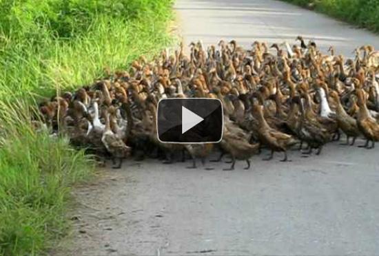 Έχετε ξαναδεί ολόκληρο «στρατό» από πάπιες;