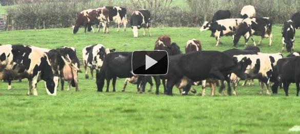 Αγελάδες χορεύουν από τη χαρά τους