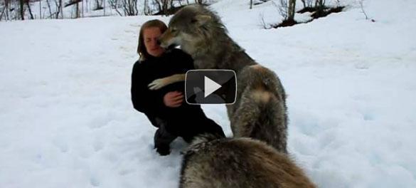 Αγέλη λύκων συναντούν μετά από μήνες την εκπαιδεύτρια τους