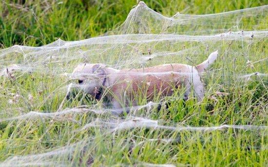 Αράχνες κάλυψαν τα πάντα σε περιοχή της Αυστραλίας (2)
