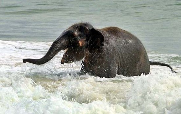 Ελεφαντάκι παίζει στην παραλία (1)