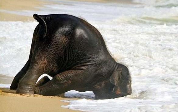 Ελεφαντάκι παίζει στην παραλία (2)