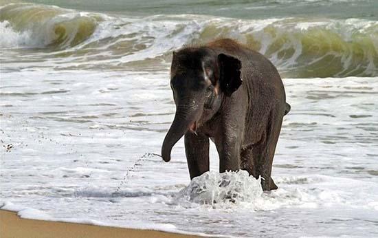 Ελεφαντάκι παίζει στην παραλία (7)