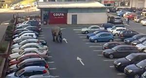 Ελέφαντας το έσκασε για βόλτα σε εμπορικό κέντρο (Video)