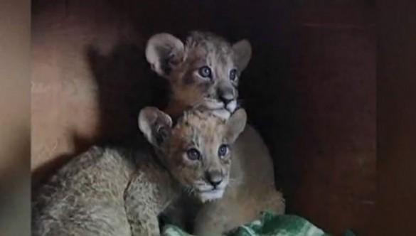 Λιονταρίνα γέννησε διασταύρωση με Τίγρη