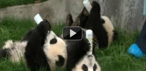 Μωρά Panda πίνουν γάλα με το μπιμπερό