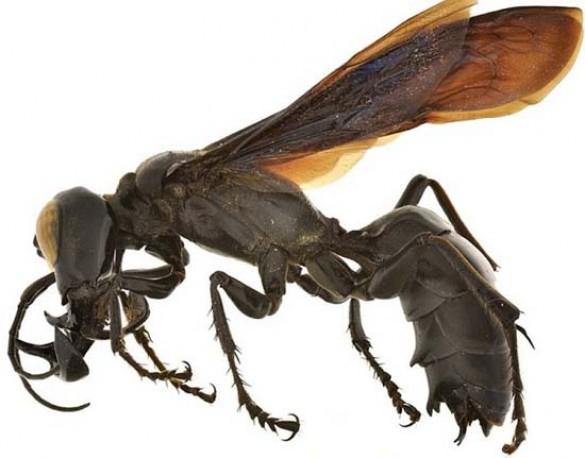 Ανακαλύφθηκε νέο είδος σφήκας «τέρας» (1)