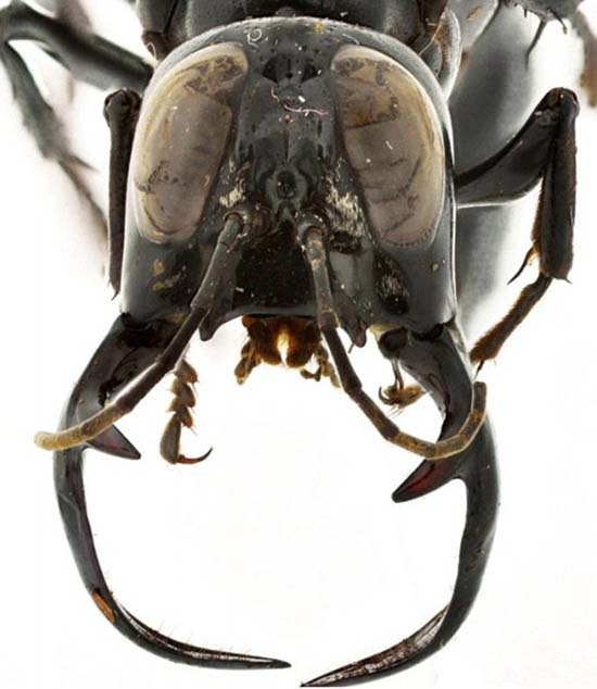 Ανακαλύφθηκε νέο είδος σφήκας «τέρας» (2)