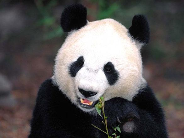 Έχετε δει νεογέννητο Panda; (1)