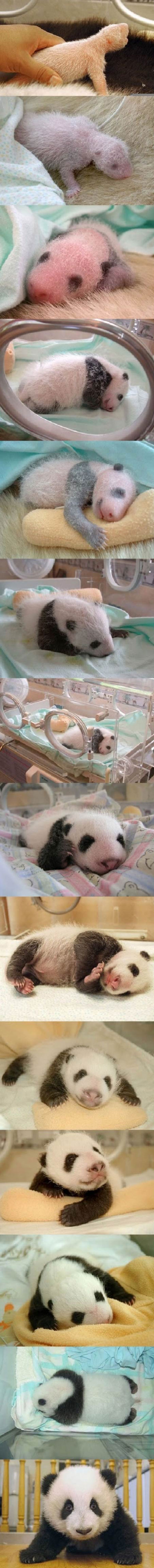 Έχετε δει νεογέννητο Panda; (3)