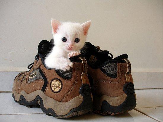 Παπουτσωμένες γάτες (7)