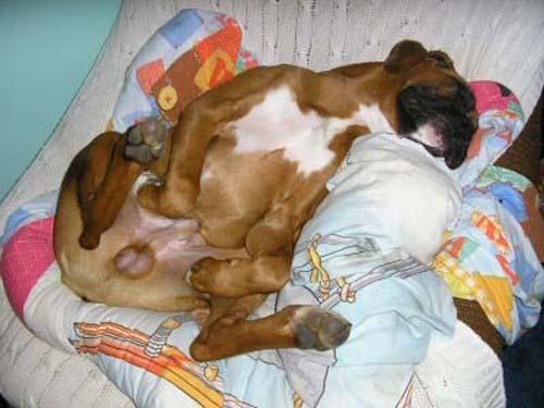 Παράξενες στάσεις ύπνου για σκύλους (12)