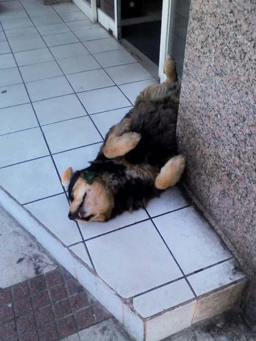 Παράξενες στάσεις ύπνου για σκύλους (17)