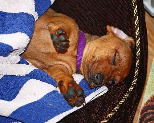 Παράξενες στάσεις ύπνου για σκύλους (31)