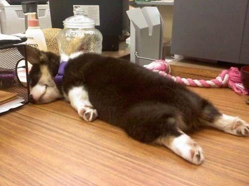 Παράξενες στάσεις ύπνου για σκύλους (36)