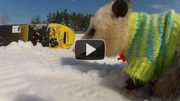Ένα πόσουμ κάνει snowboard