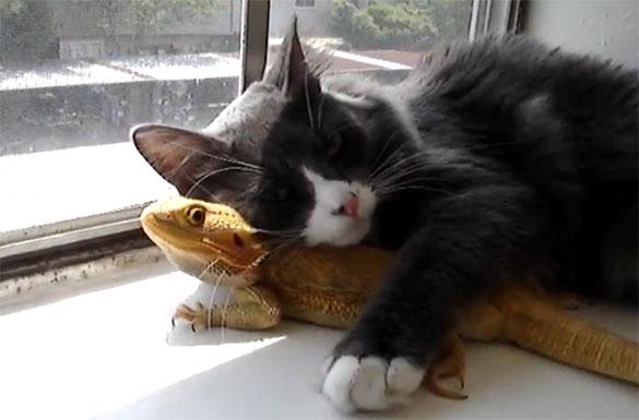 Αταίριαστος έρωτας: Γάτα με Bearded Dragon