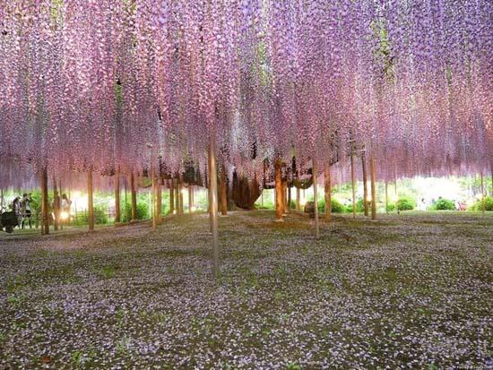 Τούνελ από λουλούδια στην Ιαπωνία μοιάζει βγαλμένο από παραμύθι (1)