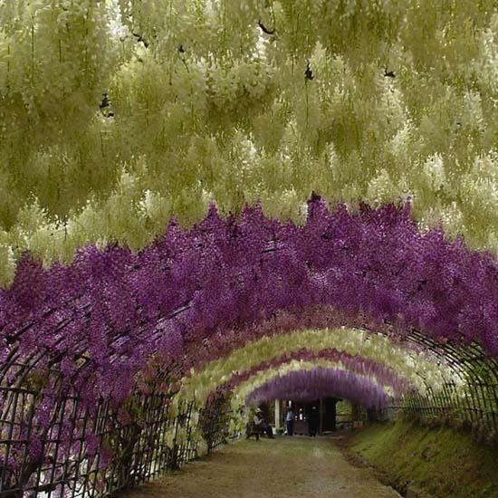 Τούνελ από λουλούδια στην Ιαπωνία μοιάζει βγαλμένο από παραμύθι (2)