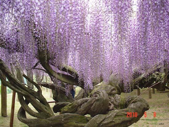 Τούνελ από λουλούδια στην Ιαπωνία μοιάζει βγαλμένο από παραμύθι (4)