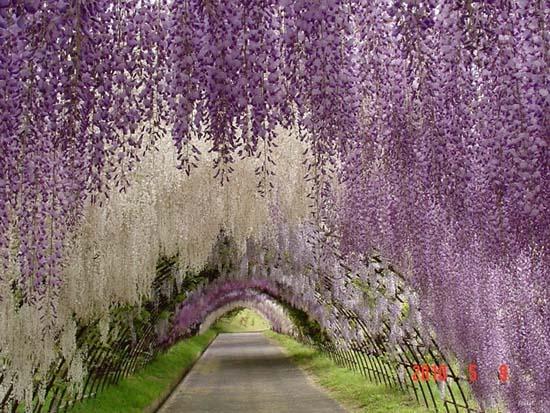 Τούνελ από λουλούδια στην Ιαπωνία μοιάζει βγαλμένο από παραμύθι (5)
