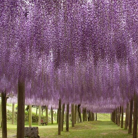Τούνελ από λουλούδια στην Ιαπωνία μοιάζει βγαλμένο από παραμύθι (6)