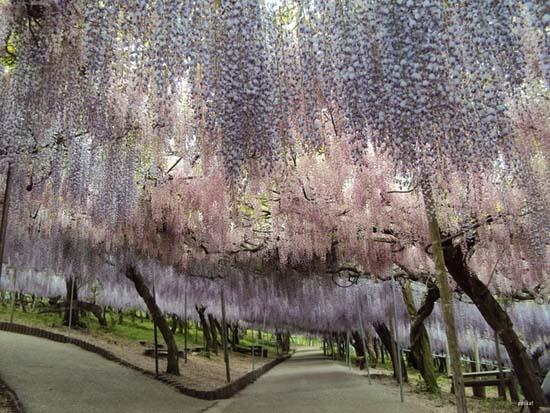 Τούνελ από λουλούδια στην Ιαπωνία μοιάζει βγαλμένο από παραμύθι (7)
