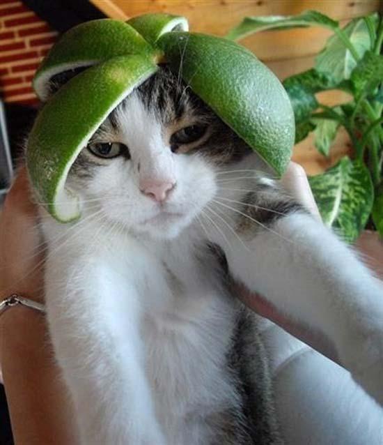 Γάτες με κράνη από φρούτα (7)