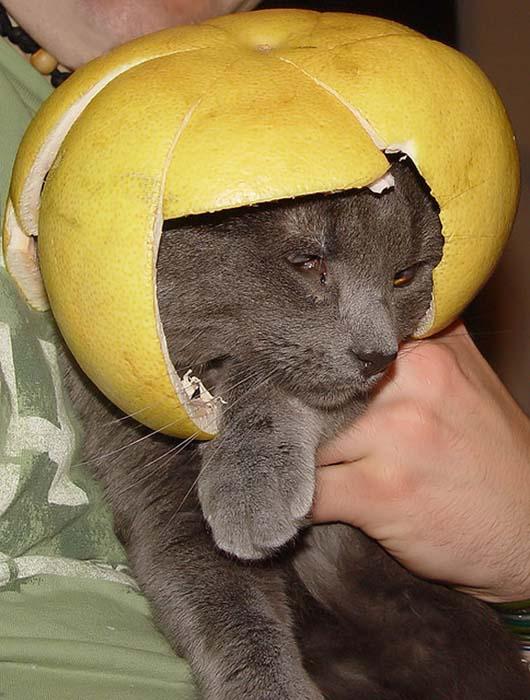 Γάτες με κράνη από φρούτα (11)