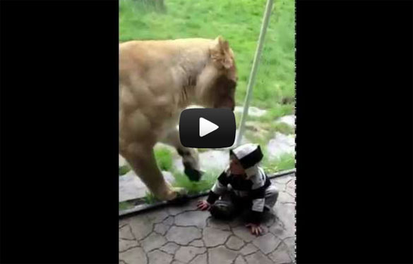 Λιοντάρι πέρασε μωρό που ήταν ντυμένο ζέβρα για... ορεκτικό