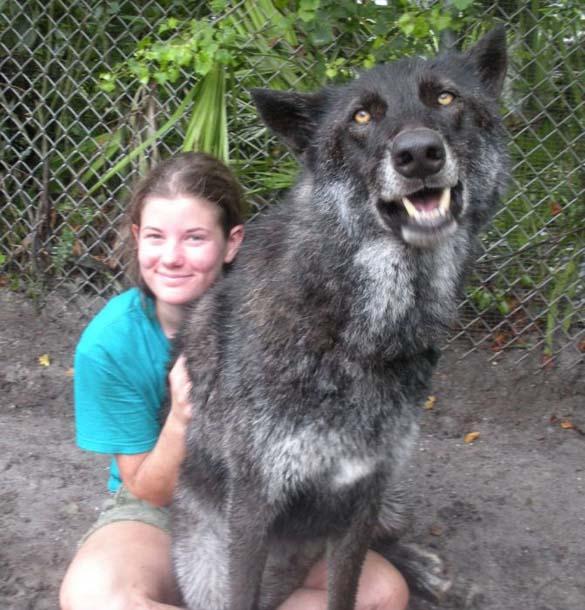 Λύκος κατοικίδιο (2)