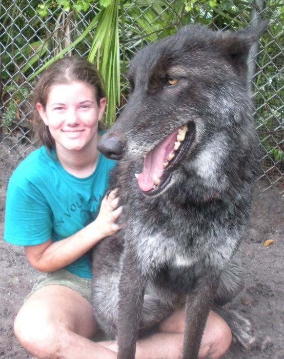 Λύκος κατοικίδιο (3)