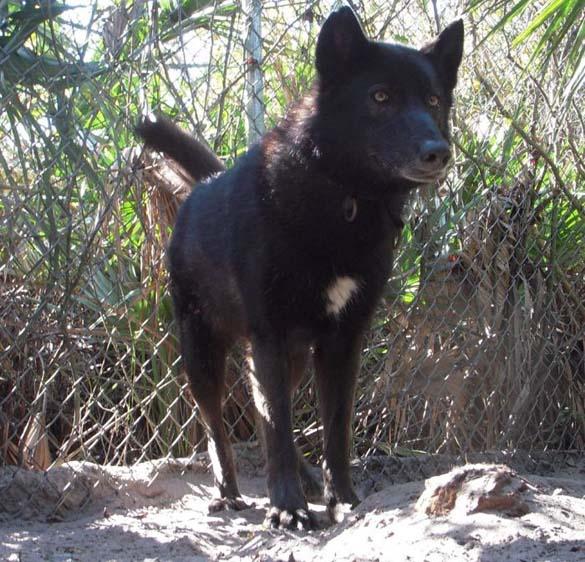 Λύκος κατοικίδιο (7)