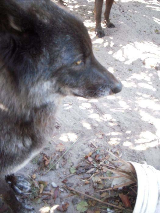 Λύκος κατοικίδιο (8)