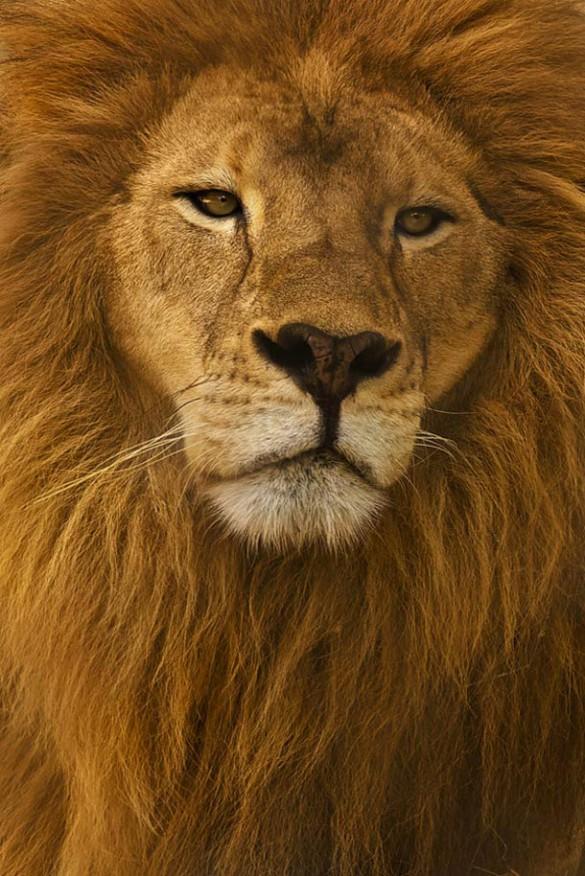 Ο Βασιλιάς των Λιονταριών | Φωτογραφία της ημέρας