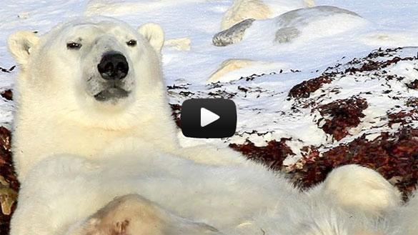 Η πιο τεμπέλα πολική αρκούδα στον κόσμο