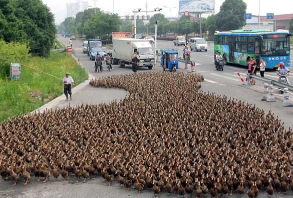 Επέλαση από 5000 πάπιες (1)