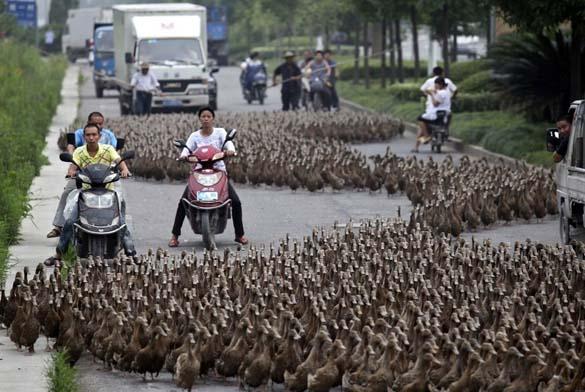 Επέλαση από 5000 πάπιες (2)