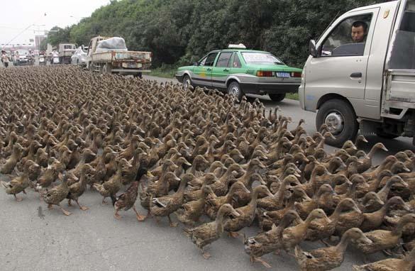 Επέλαση από 5000 πάπιες (4)