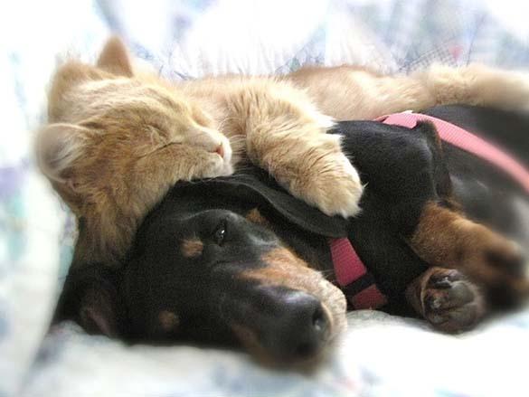 Γάτες & σκύλοι που κοιμούνται μαζί (3)