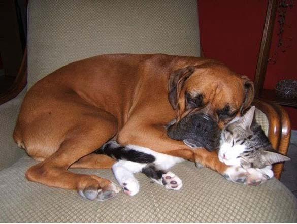 Γάτες & σκύλοι που κοιμούνται μαζί (6)