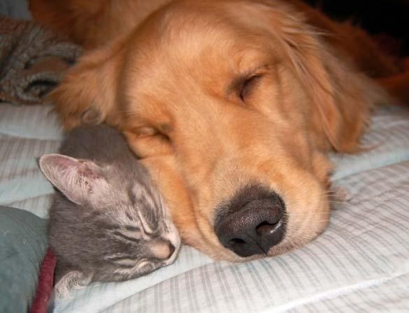 Γάτες & σκύλοι που κοιμούνται μαζί (7)