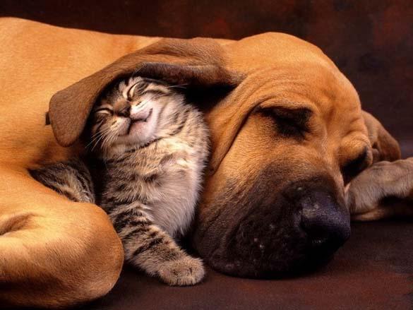 Γάτες & σκύλοι που κοιμούνται μαζί (10)