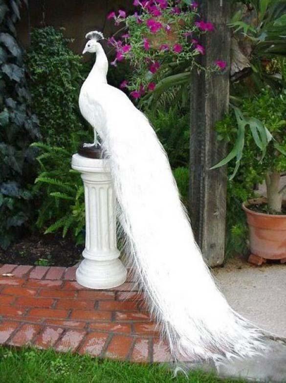 Λευκό Παγώνι (1)