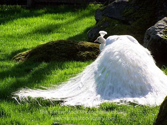 Λευκό Παγώνι (4)