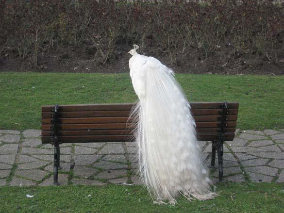 Λευκό Παγώνι (5)