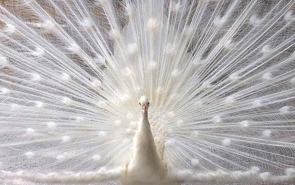 Λευκό Παγώνι (22)